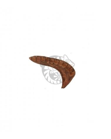 Elephant Ear 12-18 cm do terrarium